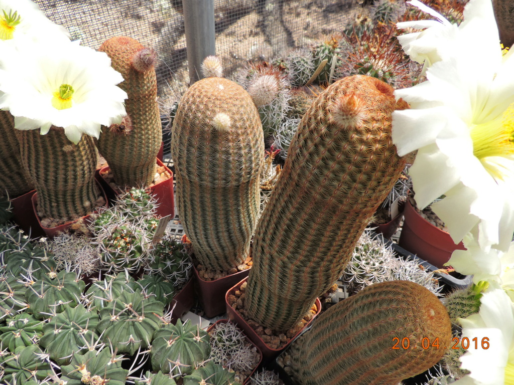 Cacti and Sukkulent in Köln, every day new flowers in the greenhouse Part 248 Bild6854