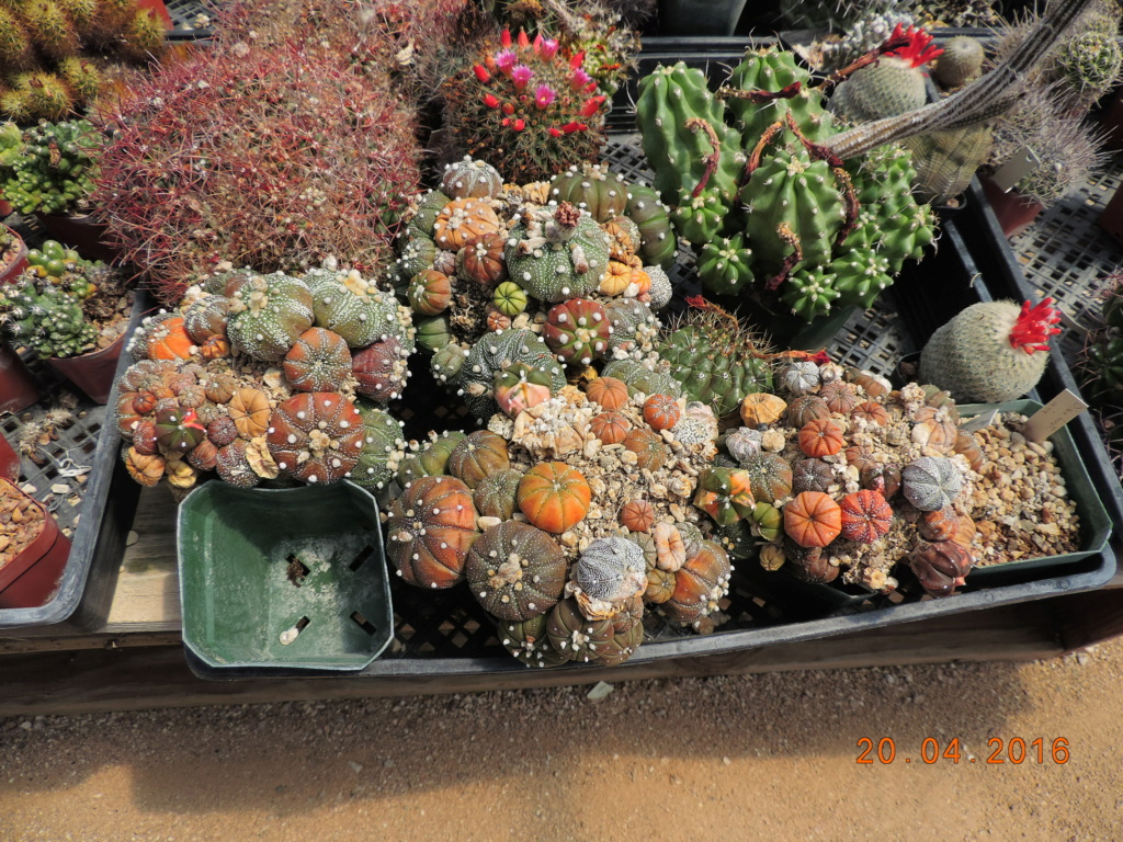 Cacti and Sukkulent in Köln, every day new flowers in the greenhouse Part 248 Bild6857