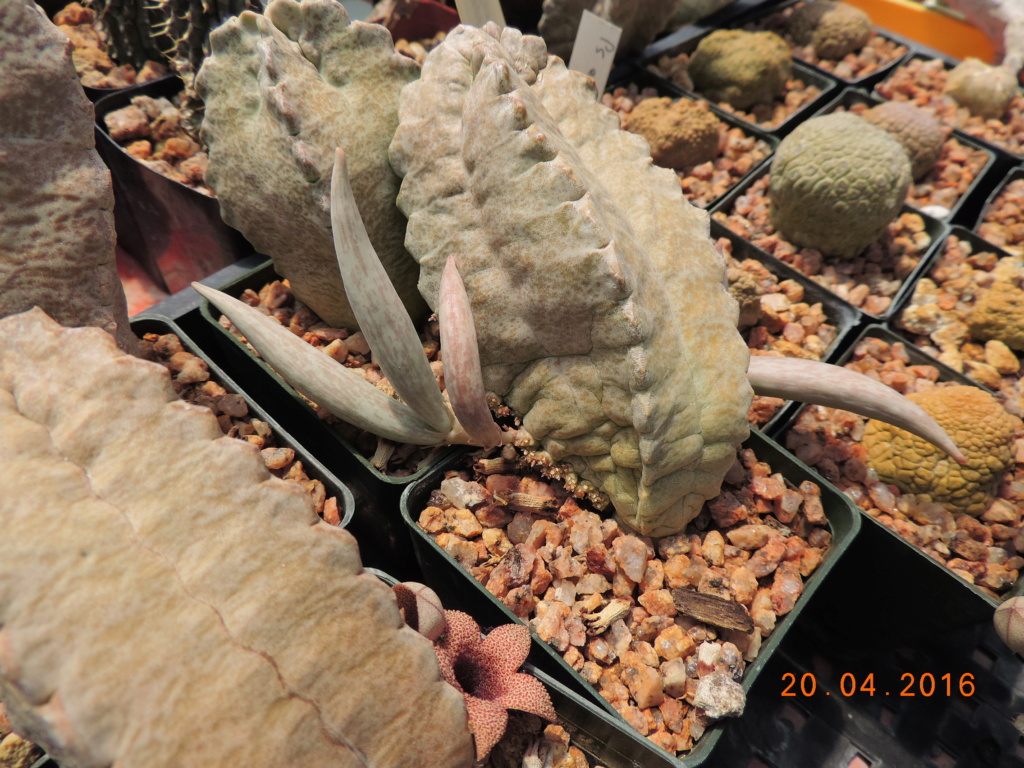 Cacti and Sukkulent in Köln, every day new flowers in the greenhouse Part 248 Bild6859
