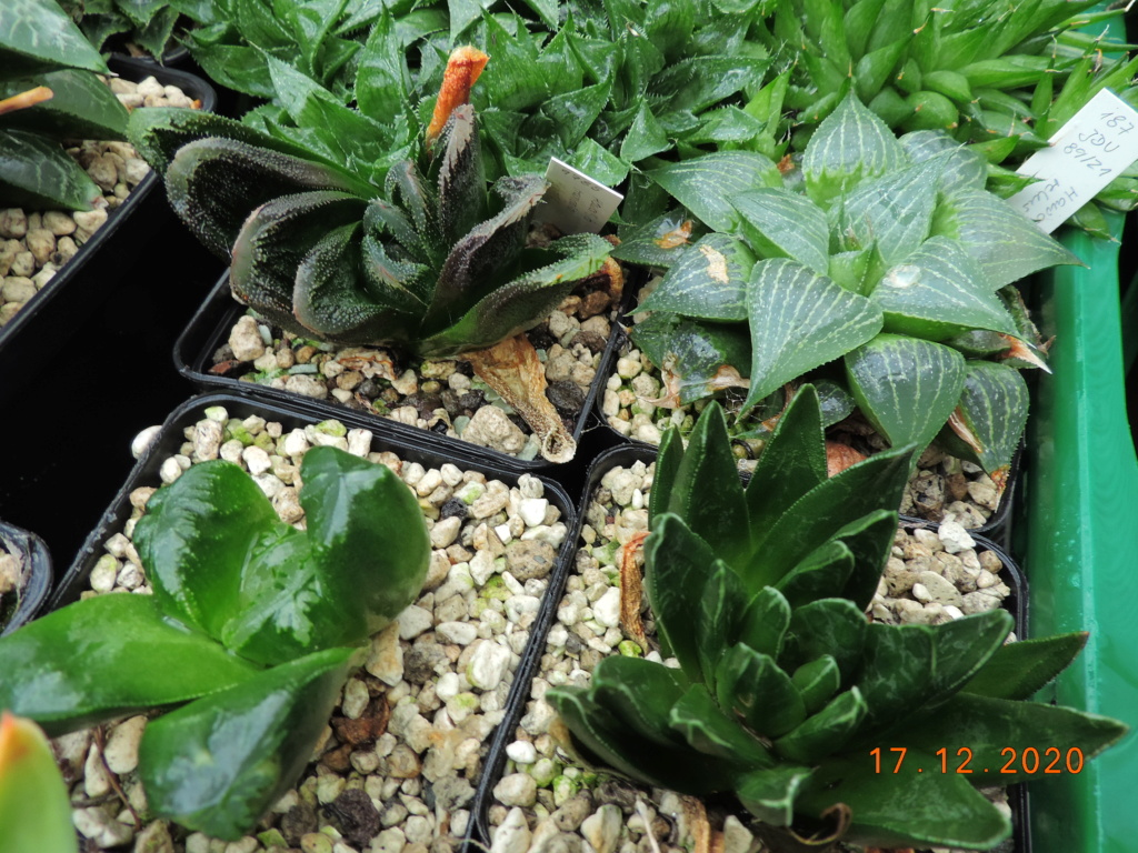 Cacti and Sukkulent in Köln, every day new flowers in the greenhouse Part 251 Bild7101