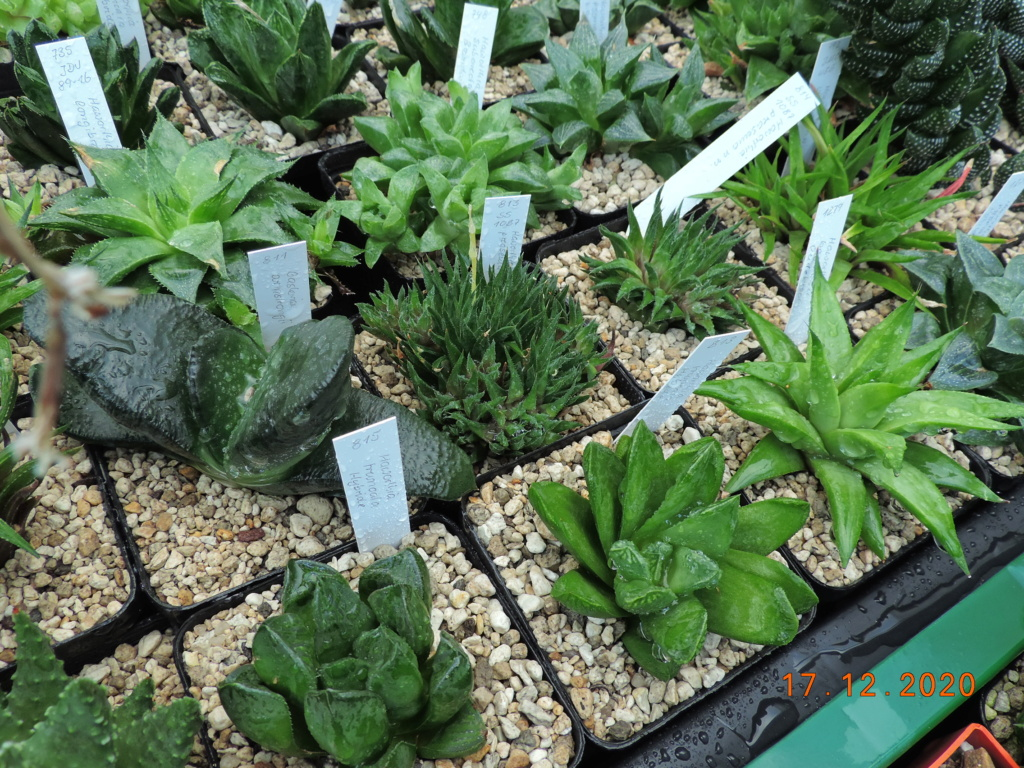 Cacti and Sukkulent in Köln, every day new flowers in the greenhouse Part 251 Bild7121