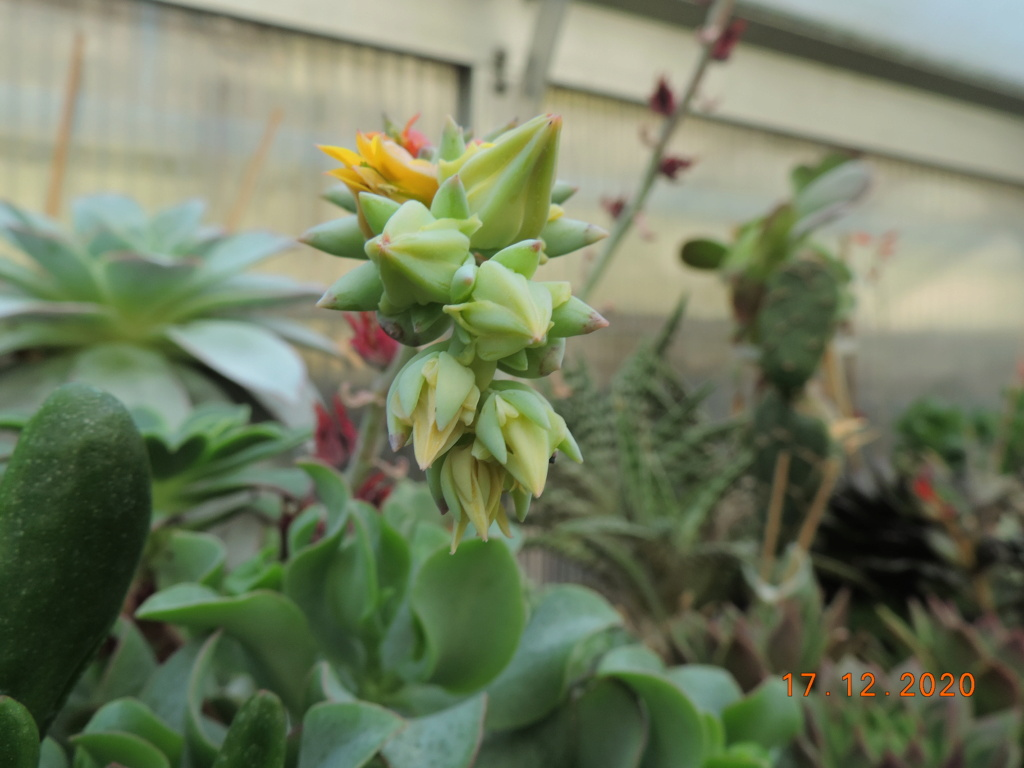 Cacti and Sukkulent in Köln, every day new flowers in the greenhouse Part 251 Bild7129