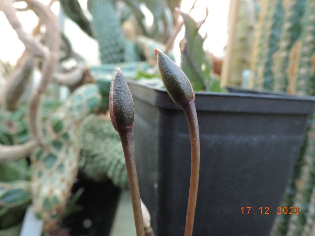 Cacti and Sukkulent in Köln, every day new flowers in the greenhouse Part 251 Bild7136
