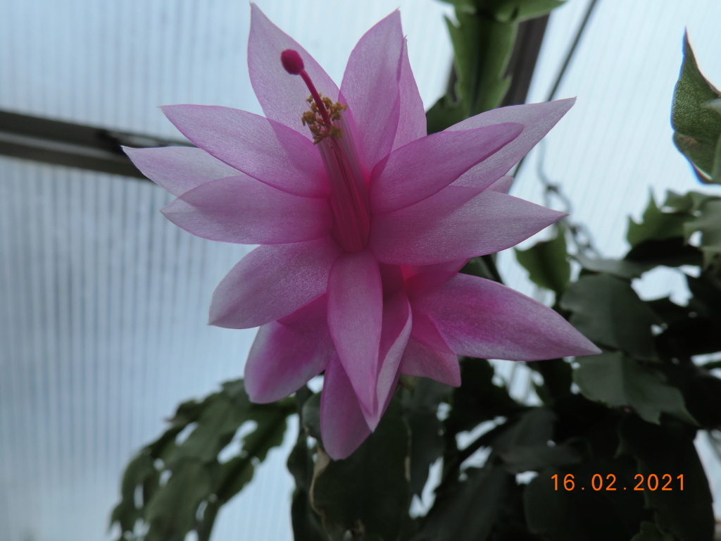 Cacti and Sukkulent in Köln, every day new flowers in the greenhouse Part 253 Bild7309
