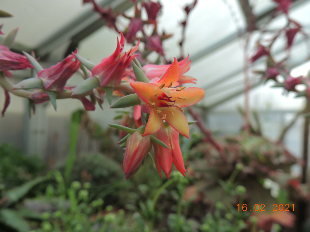 Cacti and Sukkulent in Köln, every day new flowers in the greenhouse Part 253 Bild7312