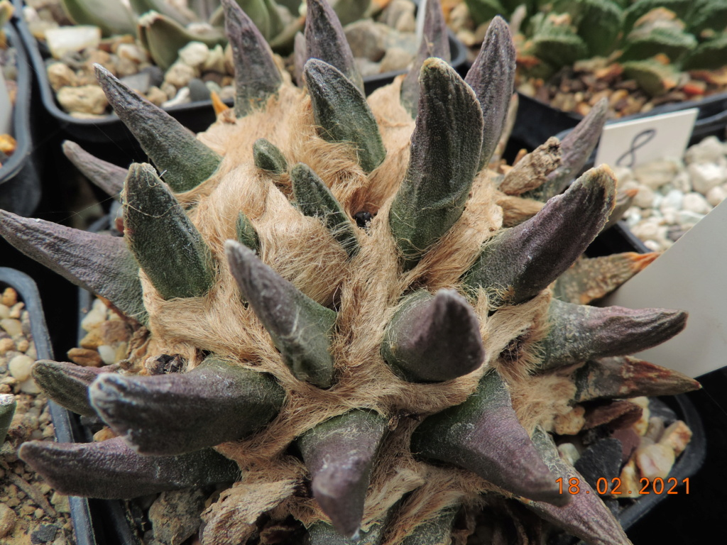 Cacti and Sukkulent in Köln, every day new flowers in the greenhouse Part 253 Bild7332