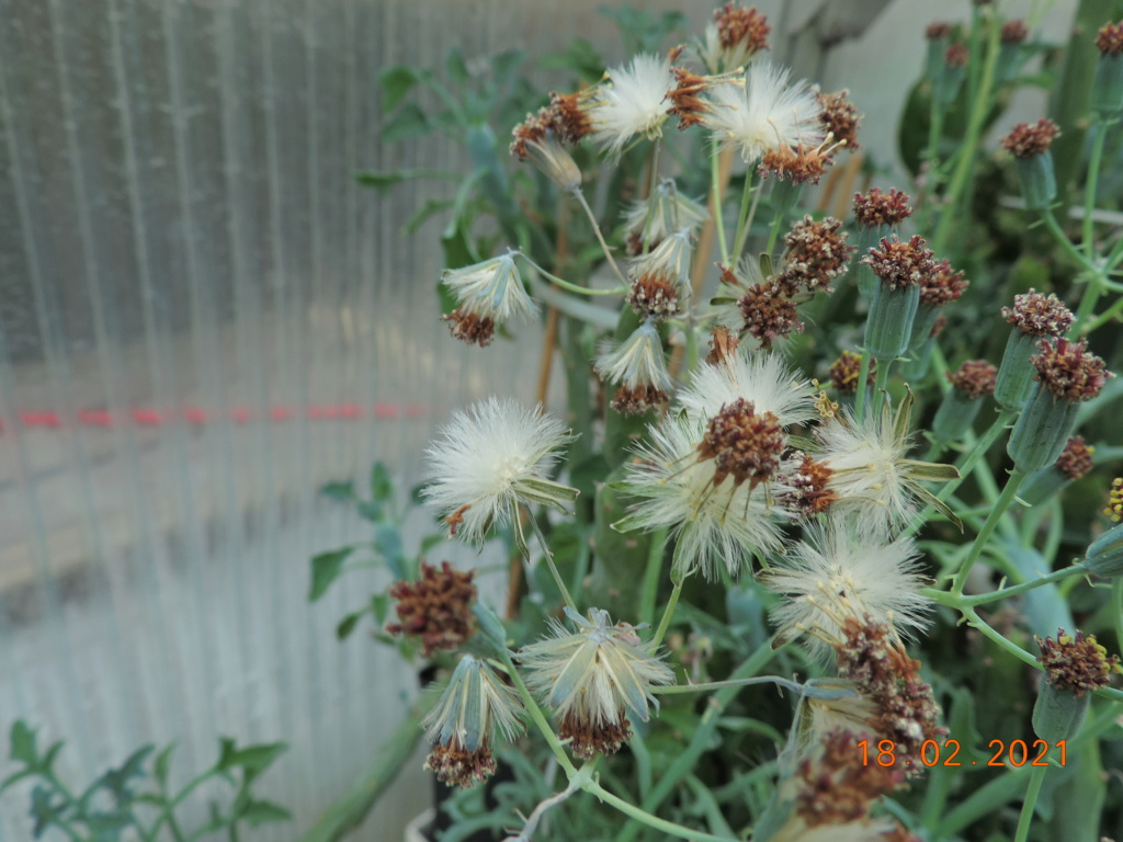 Cacti and Sukkulent in Köln, every day new flowers in the greenhouse Part 253 Bild7336