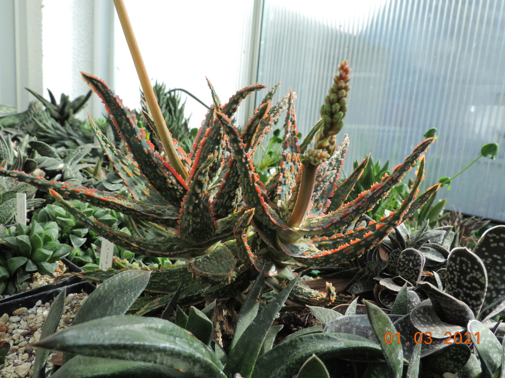 Cacti and Sukkulent in Köln, every day new flowers in the greenhouse Part 253 Bild7369