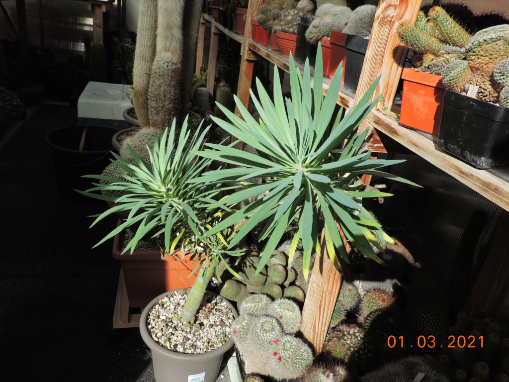 Cacti and Sukkulent in Köln, every day new flowers in the greenhouse Part 253 Bild7370