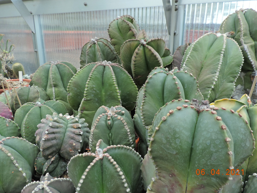 Cacti and Sukkulent in Köln, every day new flowers in the greenhouse Part 255 Bild7527