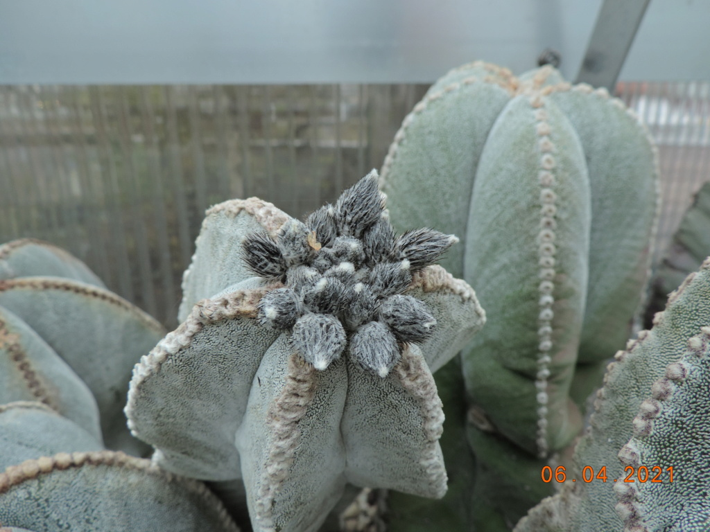 Cacti and Sukkulent in Köln, every day new flowers in the greenhouse Part 255 Bild7528