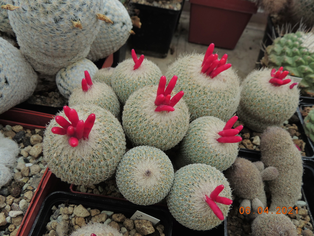 Cacti and Sukkulent in Köln, every day new flowers in the greenhouse Part 255 Bild7530