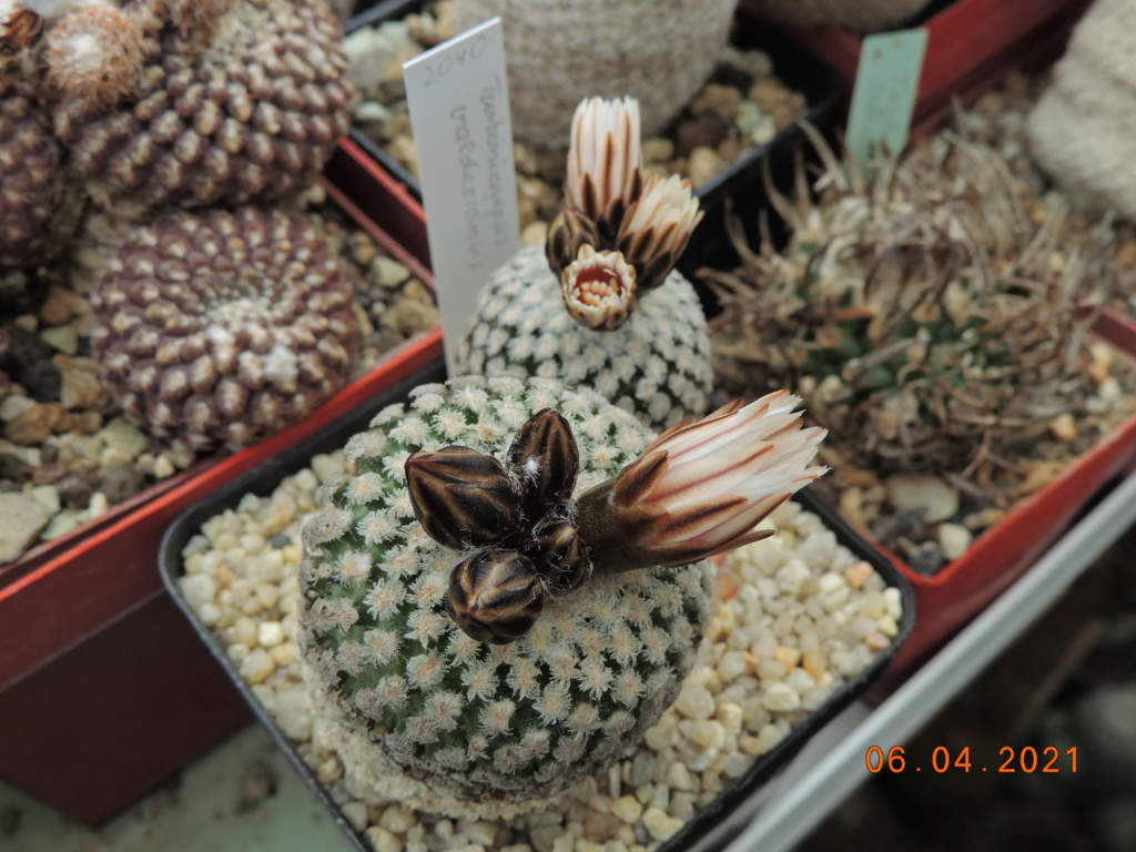 Cacti and Sukkulent in Köln, every day new flowers in the greenhouse Part 255 Bild7533