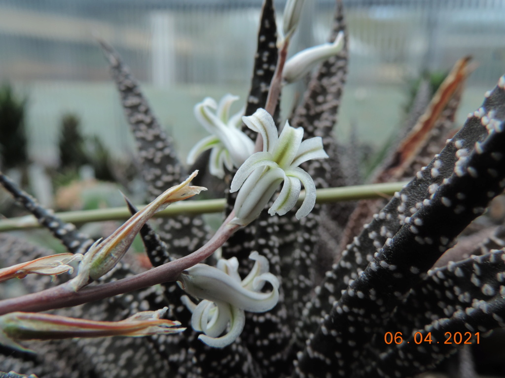Cacti and Sukkulent in Köln, every day new flowers in the greenhouse Part 255 Bild7539