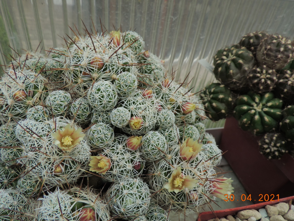 Cacti and Sukkulent in Köln, every day new flowers in the greenhouse Part 258 Bild7742