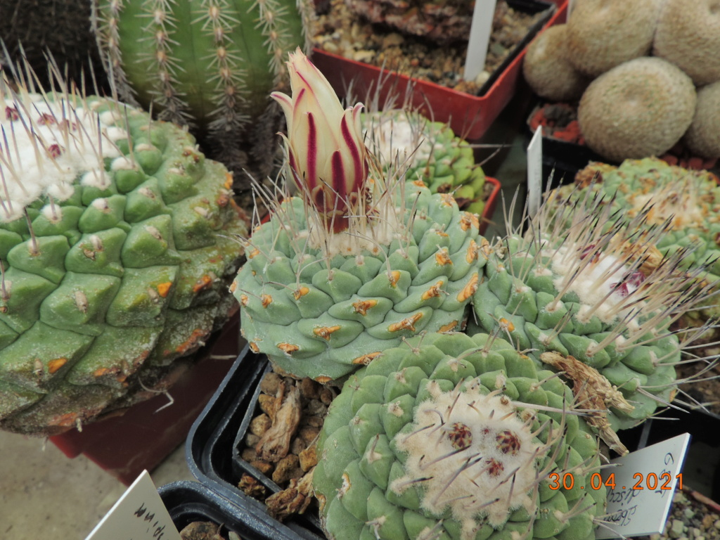 Cacti and Sukkulent in Köln, every day new flowers in the greenhouse Part 258 Bild7743