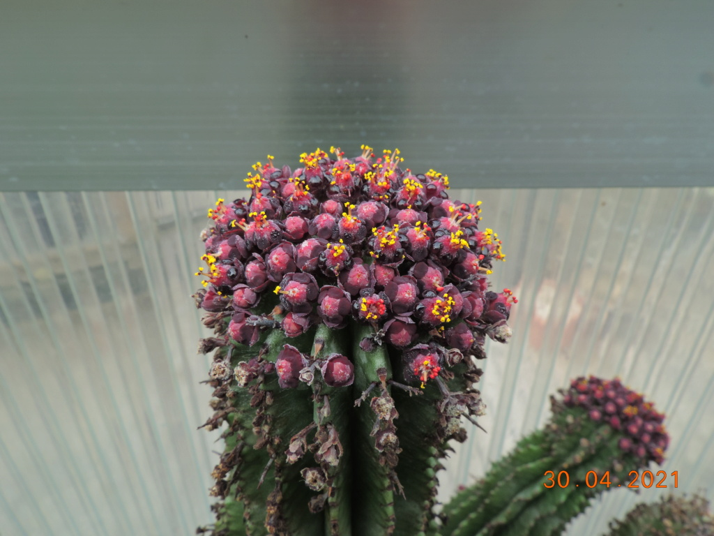 Cacti and Sukkulent in Köln, every day new flowers in the greenhouse Part 258 Bild7748