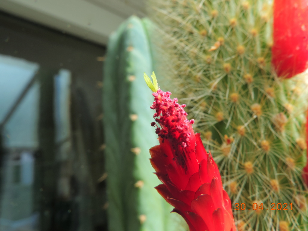 Cacti and Sukkulent in Köln, every day new flowers in the greenhouse Part 258 Bild7751