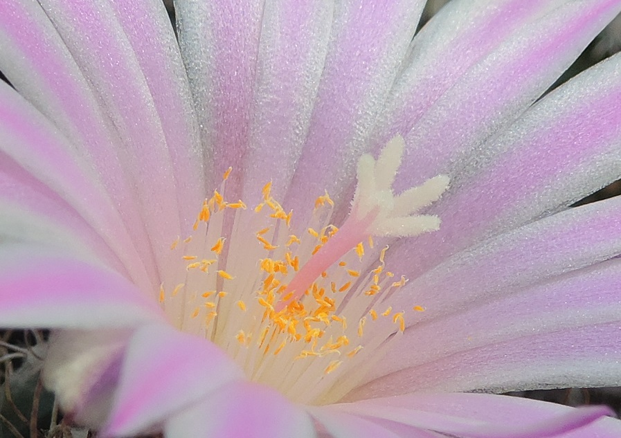 Cacti and Sukkulent in Köln, every day new flowers in the greenhouse Part 258 Bild7754