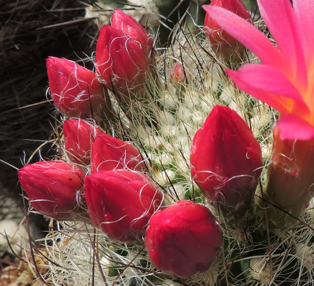 Cacti and Sukkulent in Köln, every day new flowers in the greenhouse Part 258 Bild7757