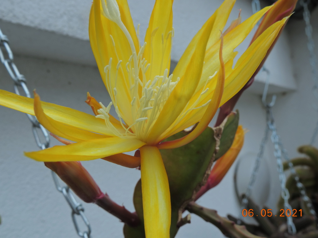 Cacti and Sukkulent in Köln, every day new flowers in the greenhouse Part 258 Bild7760
