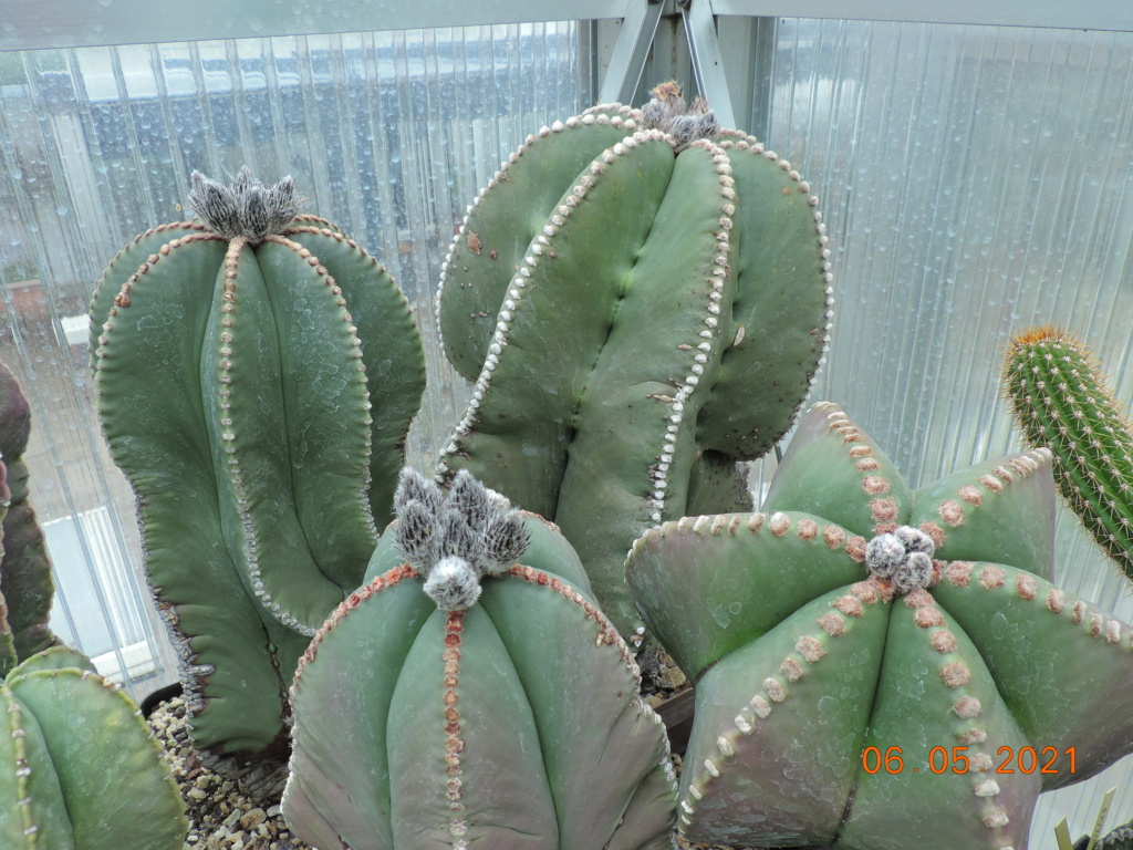 Cacti and Sukkulent in Köln, every day new flowers in the greenhouse Part 258 Bild7762