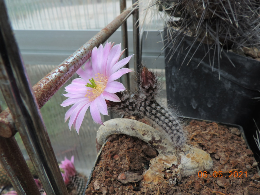 Cacti and Sukkulent in Köln, every day new flowers in the greenhouse Part 258 Bild7768