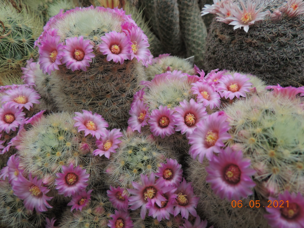 Cacti and Sukkulent in Köln, every day new flowers in the greenhouse Part 258 Bild7771