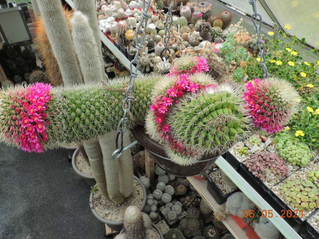 Cacti and Sukkulent in Köln, every day new flowers in the greenhouse Part 258 Bild7775