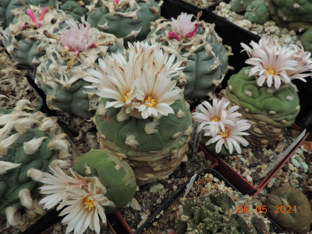 Cacti and Sukkulent in Köln, every day new flowers in the greenhouse Part 258 Bild7781