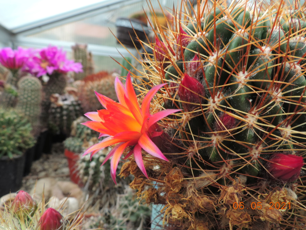 Cacti and Sukkulent in Köln, every day new flowers in the greenhouse Part 258 Bild7782