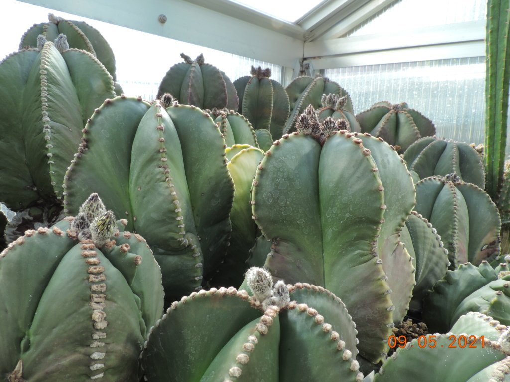Cacti and Sukkulent in Köln, every day new flowers in the greenhouse Part 258 Bild7789