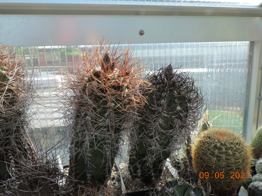 Cacti and Sukkulent in Köln, every day new flowers in the greenhouse Part 258 Bild7790