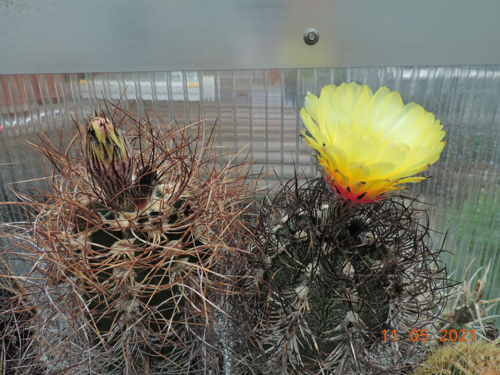 Cacti and Sukkulent in Köln, every day new flowers in the greenhouse Part 258 Bild7797