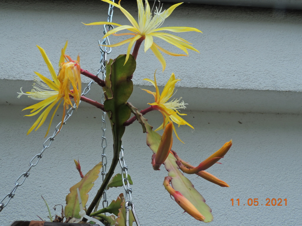 Cacti and Sukkulent in Köln, every day new flowers in the greenhouse Part 258 Bild7799