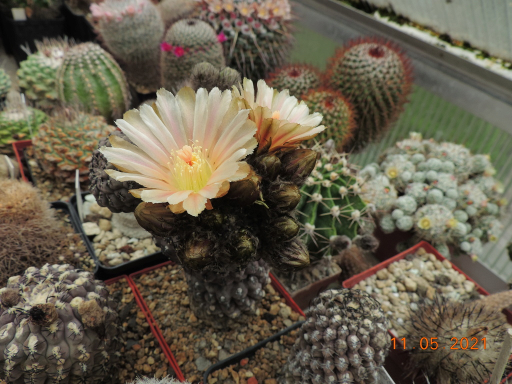 Cacti and Sukkulent in Köln, every day new flowers in the greenhouse Part 258 Bild7802