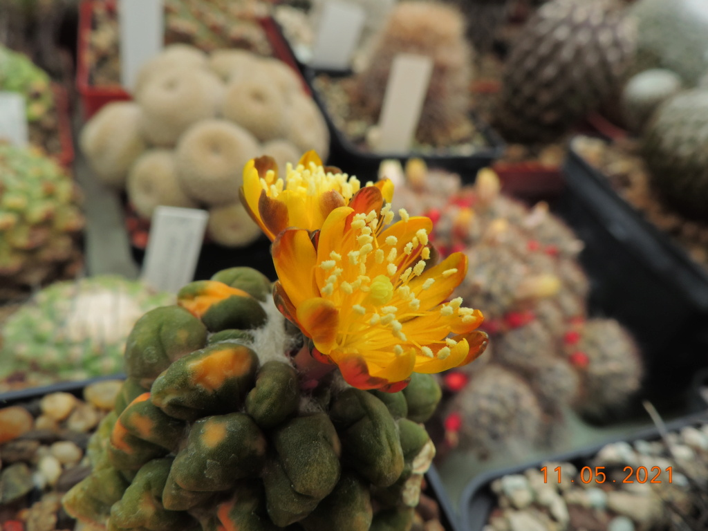 Cacti and Sukkulent in Köln, every day new flowers in the greenhouse Part 258 Bild7803