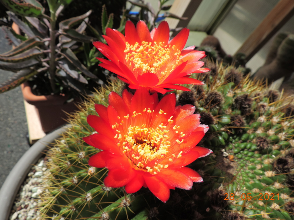 Cacti and Sukkulent in Köln, every day new flowers in the greenhouse Part 260 Bild7949