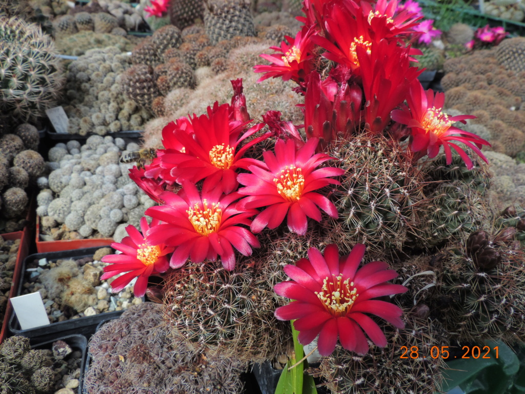 Cacti and Sukkulent in Köln, every day new flowers in the greenhouse Part 260 Bild7953