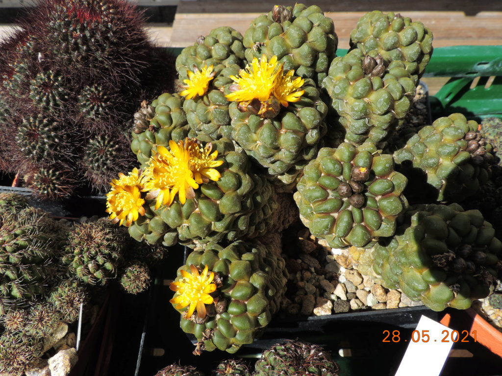 Cacti and Sukkulent in Köln, every day new flowers in the greenhouse Part 260 Bild7954