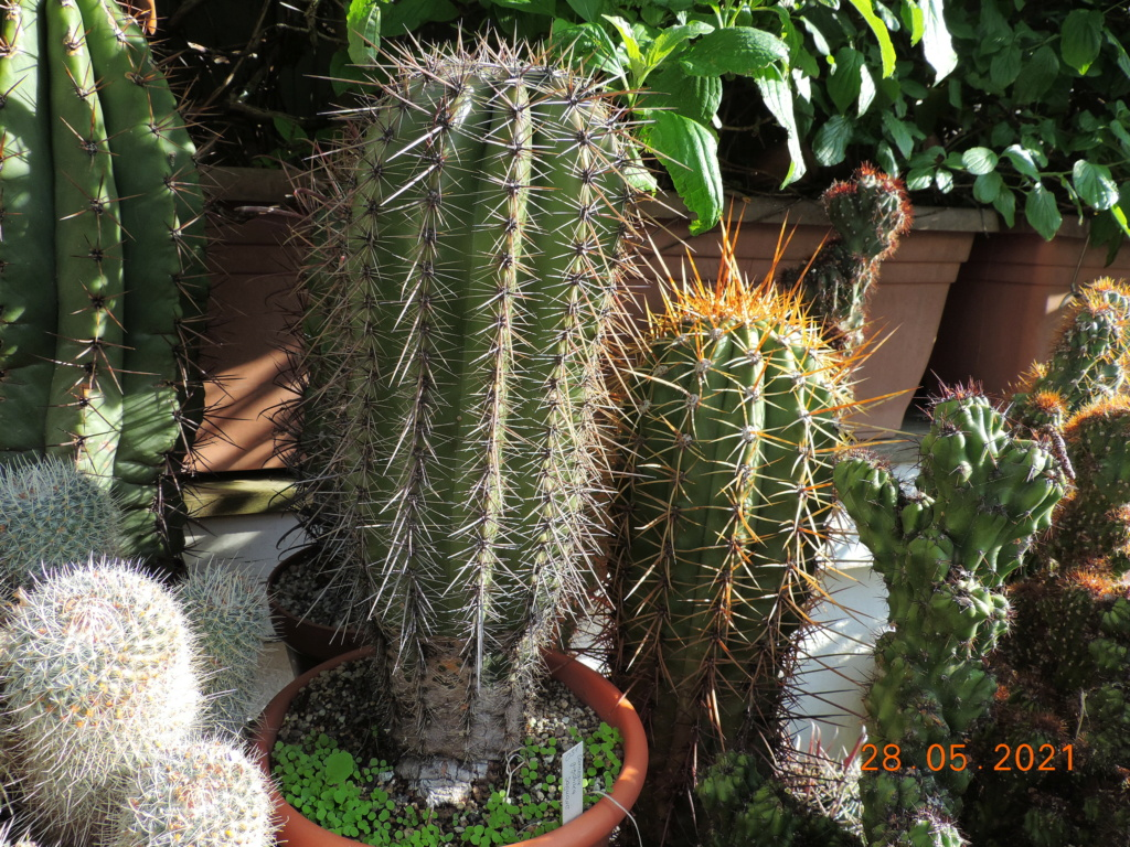 Cacti and Sukkulent in Köln, every day new flowers in the greenhouse Part 260 Bild7956