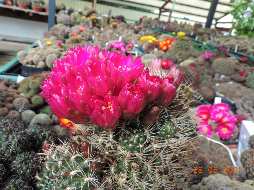 Cacti and Sukkulent in Köln, every day new flowers in the greenhouse Part 260 Bild7961