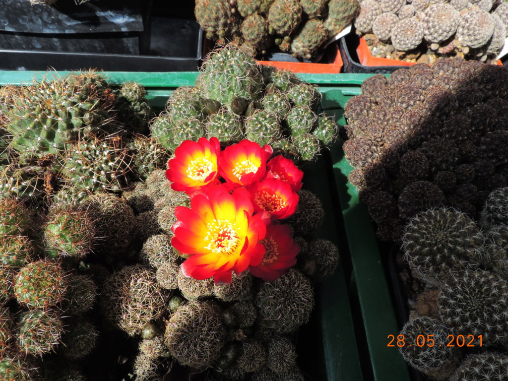 Cacti and Sukkulent in Köln, every day new flowers in the greenhouse Part 260 Bild7962