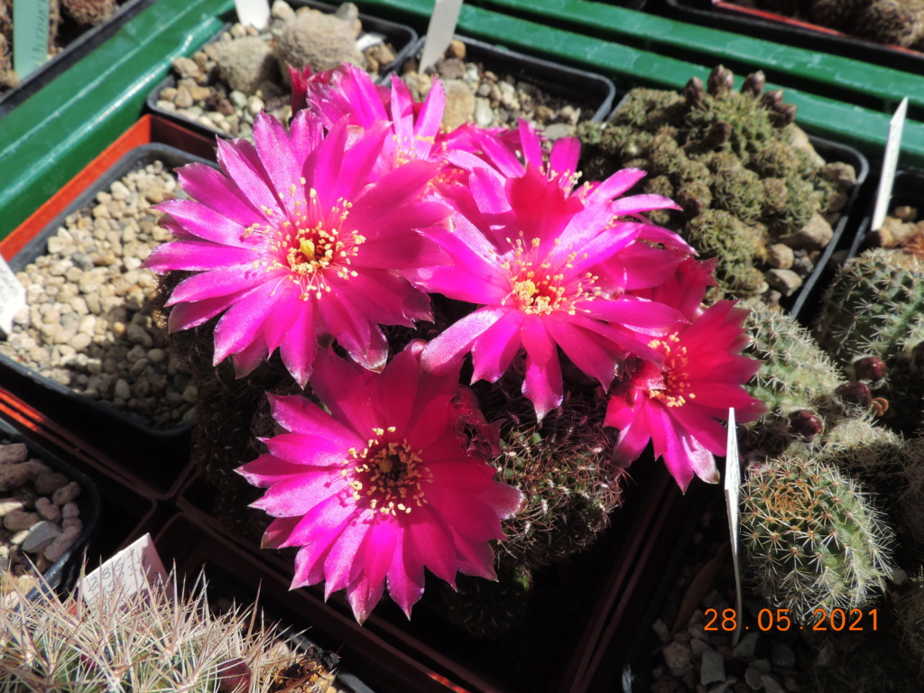 Cacti and Sukkulent in Köln, every day new flowers in the greenhouse Part 260 Bild7964