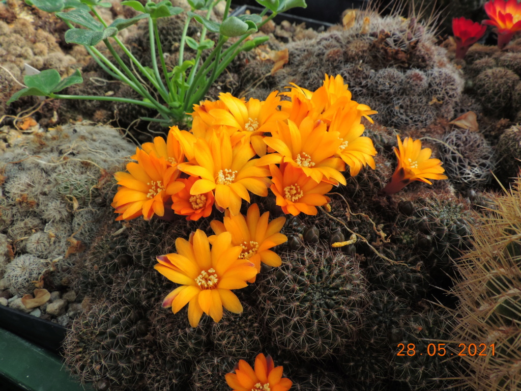 Cacti and Sukkulent in Köln, every day new flowers in the greenhouse Part 260 Bild7966