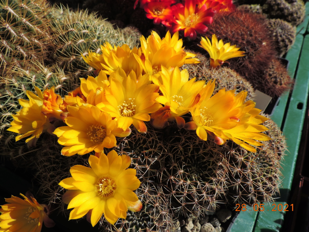 Cacti and Sukkulent in Köln, every day new flowers in the greenhouse Part 260 Bild7967