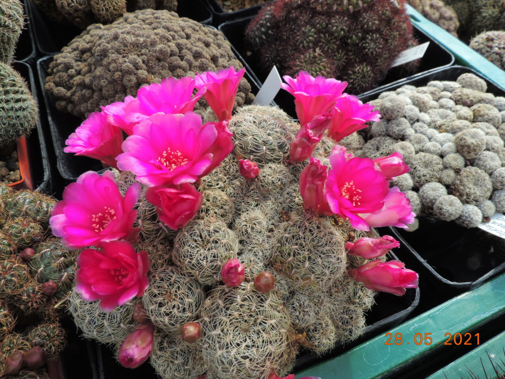 Cacti and Sukkulent in Köln, every day new flowers in the greenhouse Part 260 Bild7970