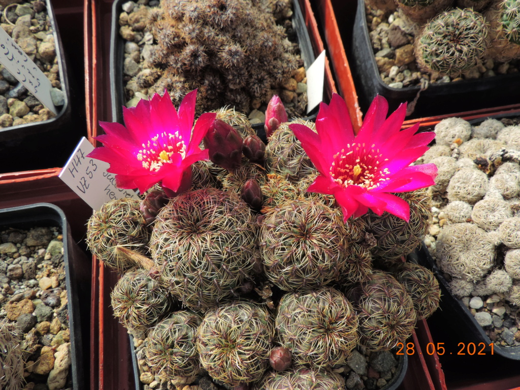 Cacti and Sukkulent in Köln, every day new flowers in the greenhouse Part 260 Bild7973