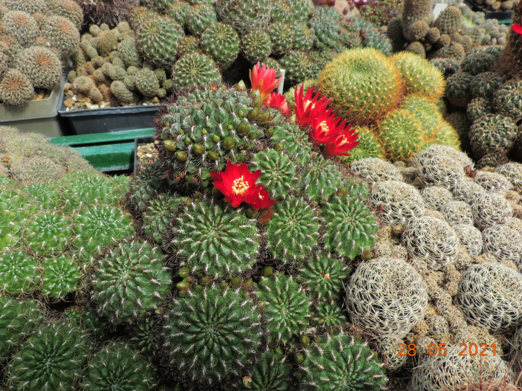 Cacti and Sukkulent in Köln, every day new flowers in the greenhouse Part 260 Bild7975