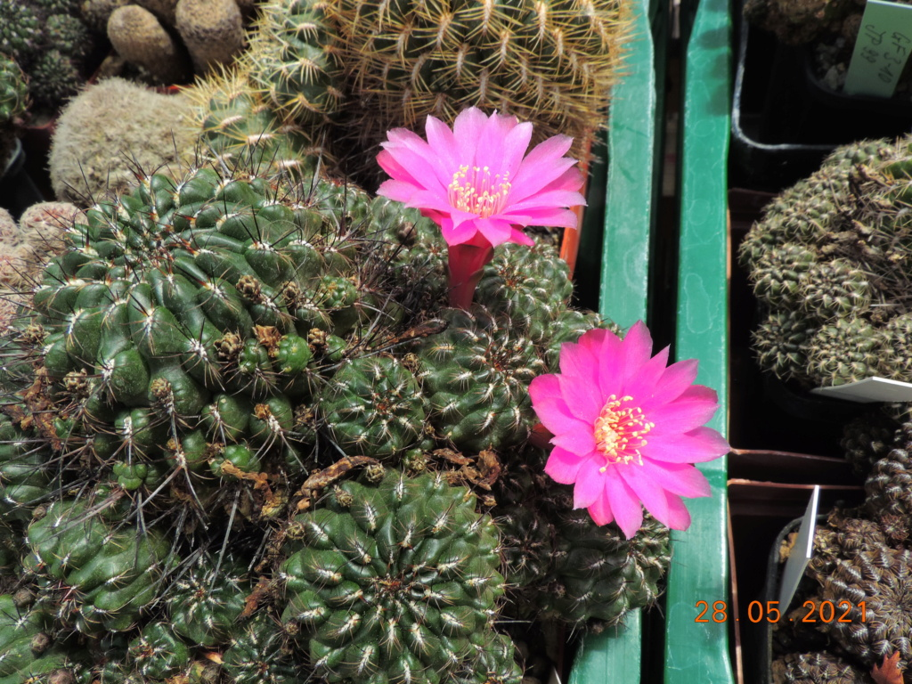 Cacti and Sukkulent in Köln, every day new flowers in the greenhouse Part 260 Bild7976